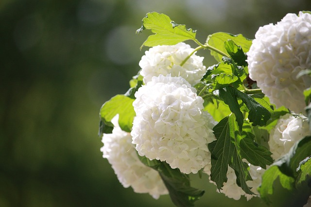 hortenzija cvetovi