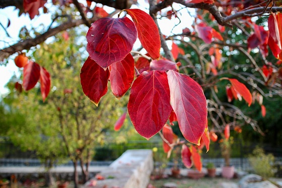 drevo kakija jeseni