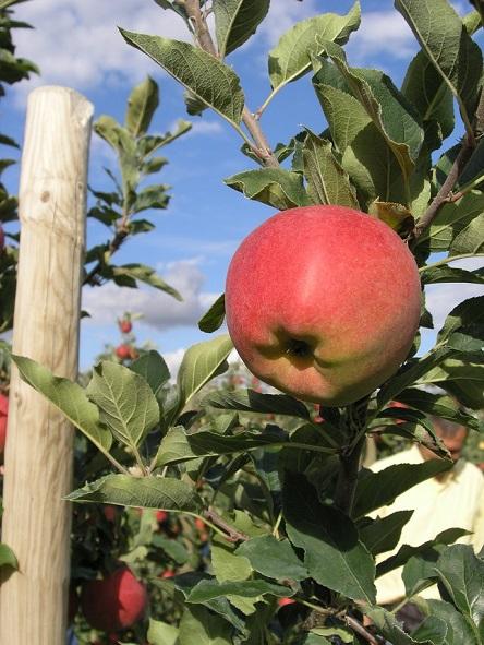 jabolko galiwa