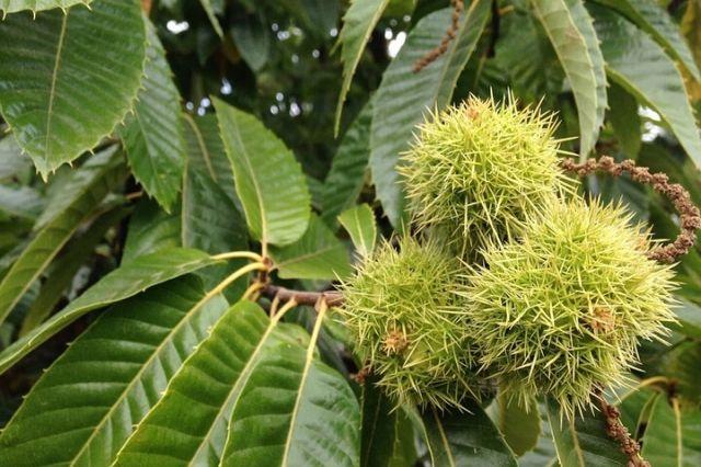 kostanj drevo z ježicami