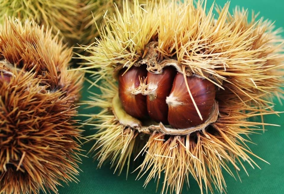 kostan maron v ježici