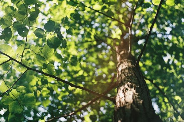 okrasno drevo