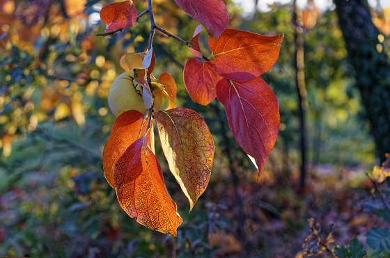 zorenje kakija jeseni