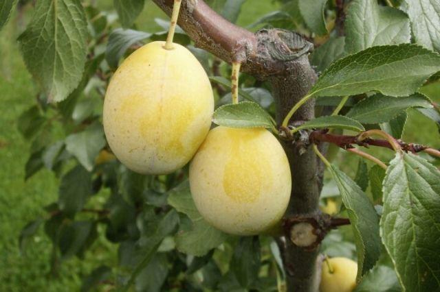 aprimira plodovi