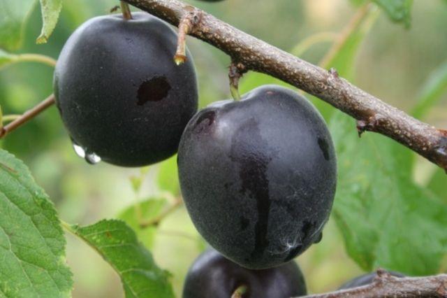 aprisali plodovi