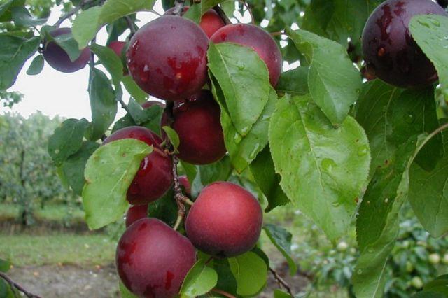 aprykira plodovi