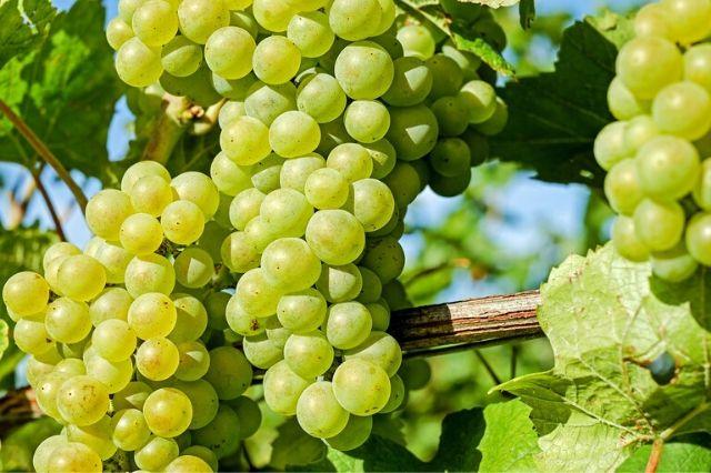 bela sorta namizno grozdje