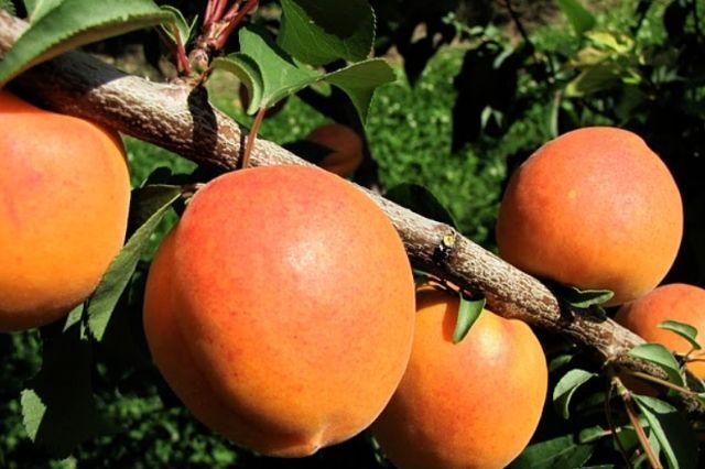 marelica plodovi ob blizu