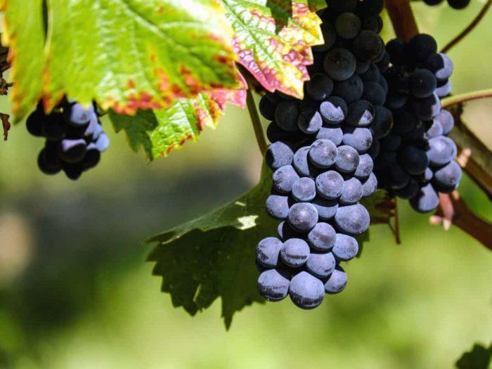 namizno grozdje