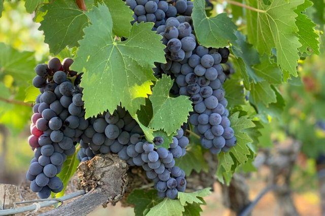 namizno grozdje trta