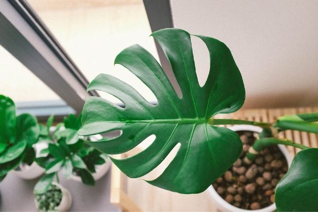 navadna monstera