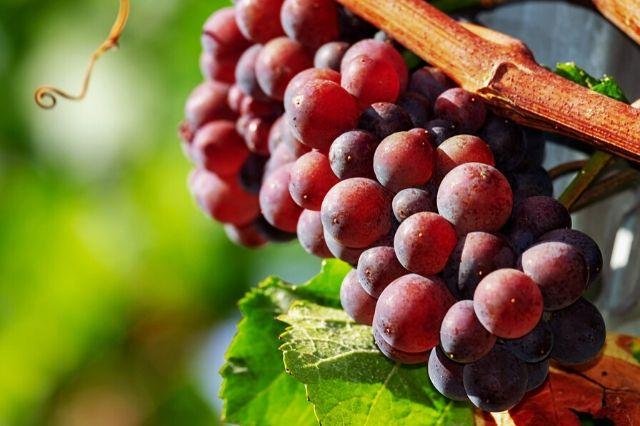 rdeča sorta namizno grozdje