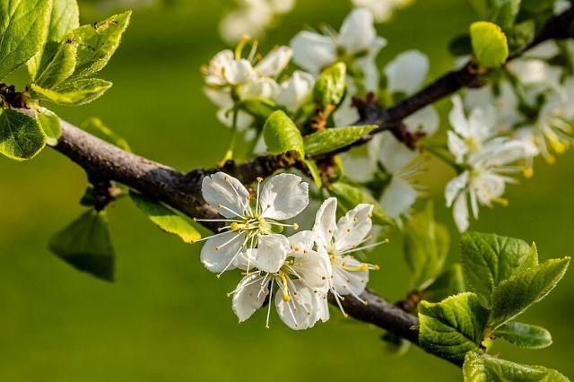 sliva drevo s cvetovi
