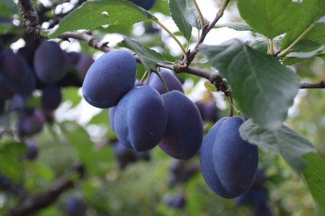 sliva drevo z modrimi plodovi