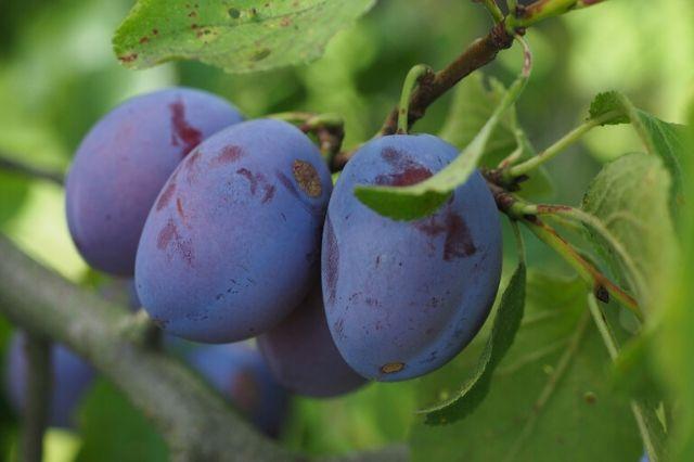 sliva plodovi