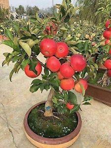 pritlikava jablana