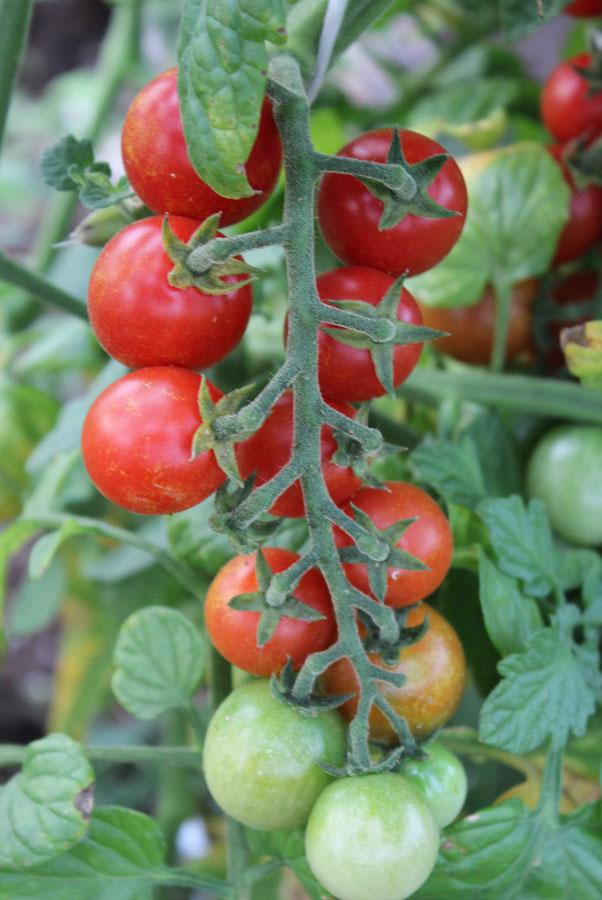 češnjev paradižnik tomaccio