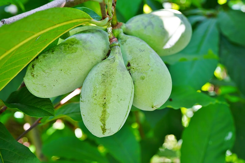 asimina plodovi