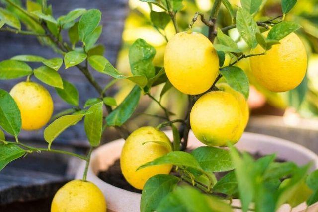 drevo limone