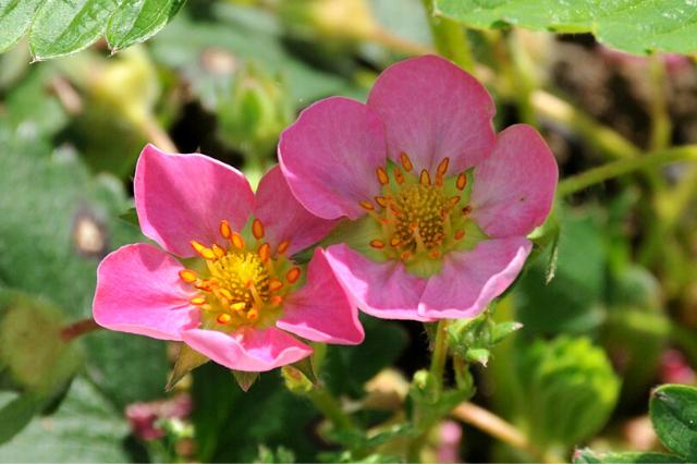 jagode rimona cvet