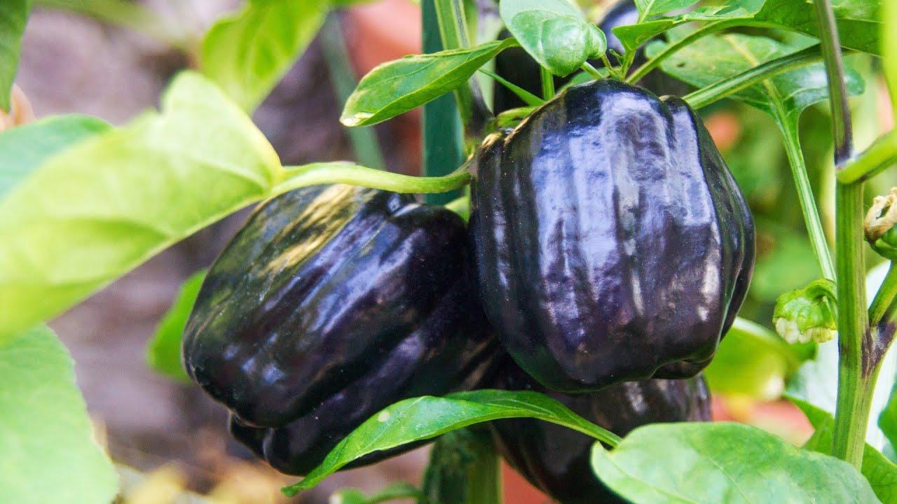paprika bellania