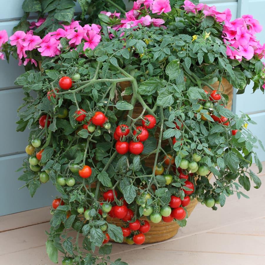 paradižnik tumbling tom red