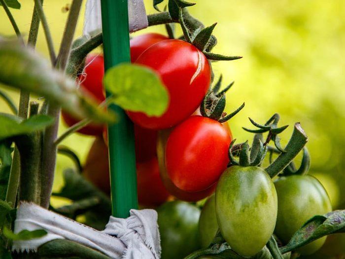 paradižniki na steblu