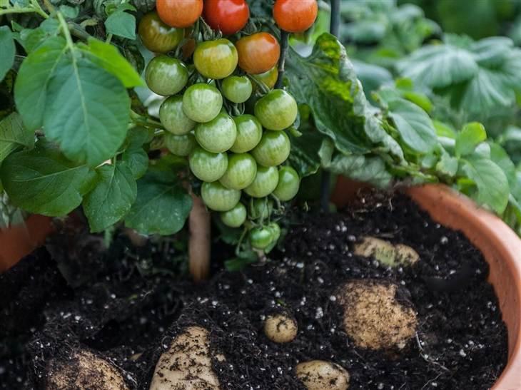 rastlina tomtato češnjev paradižnik krompir