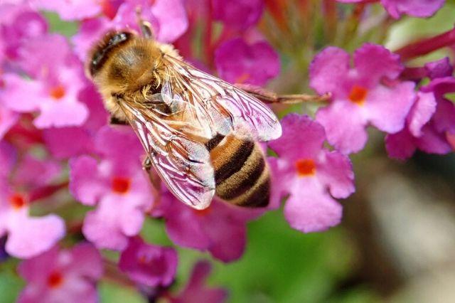 čebela cvetovi budleje