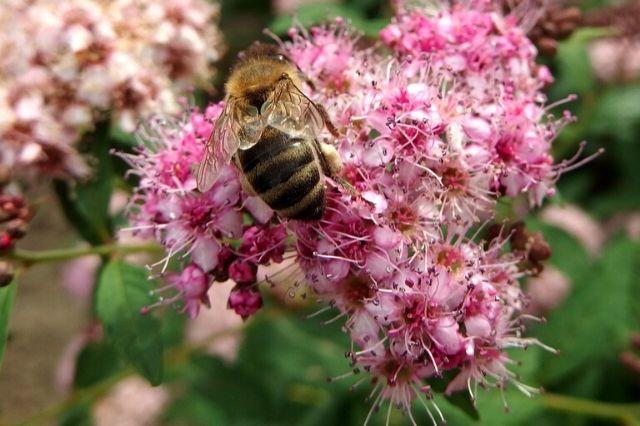 čebela na cvetovih grmovnice