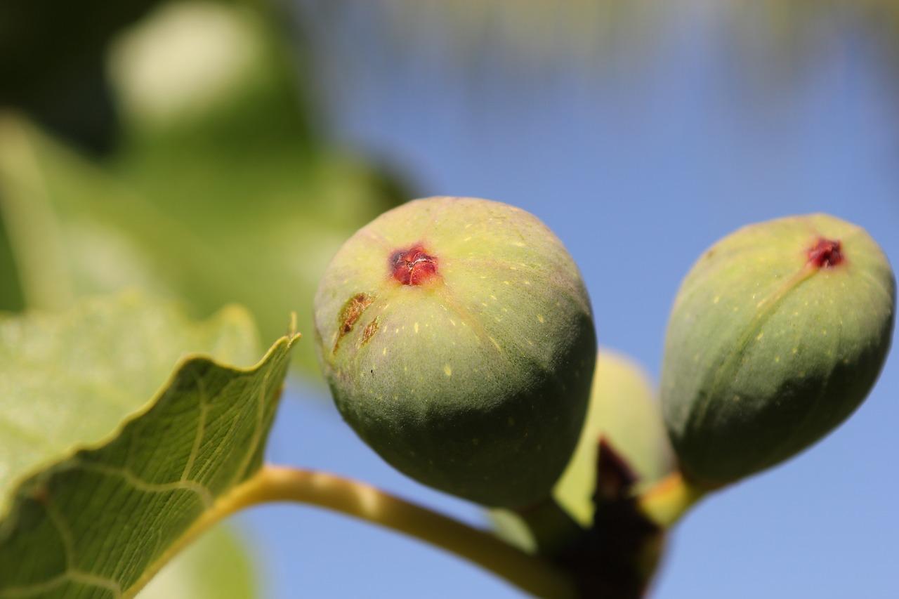 figa nezreli plodovi