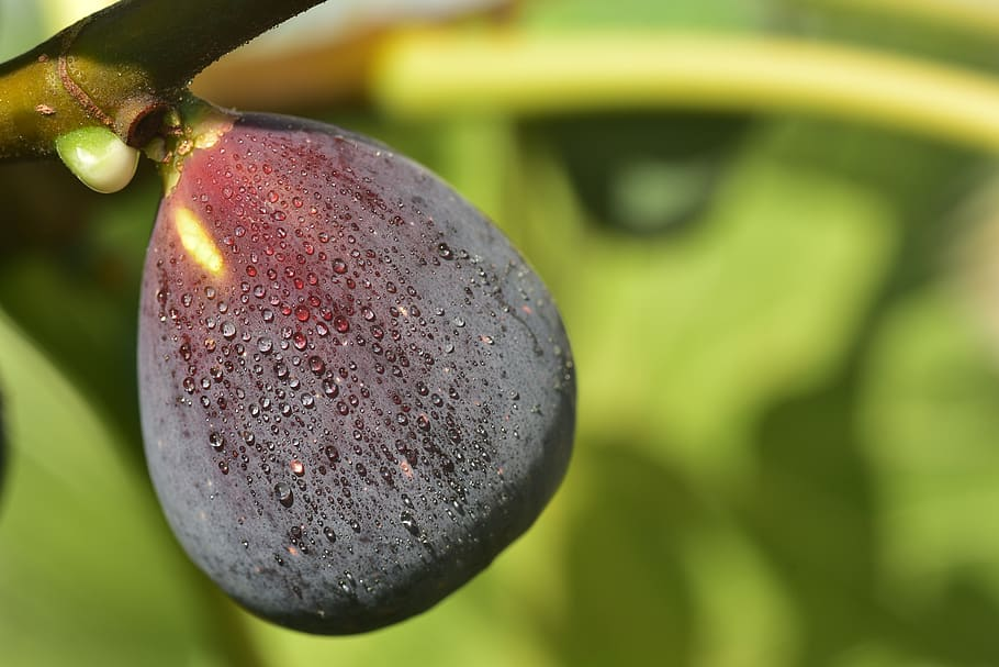 figa plod na veji