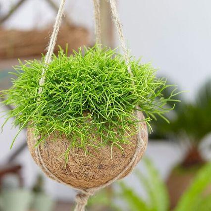 koralni kaktus