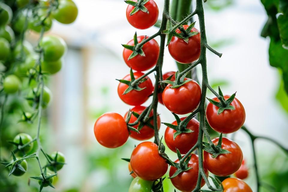 češnjev-paradižnik